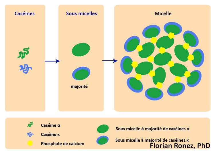 Organisation des micelles de caseine