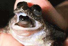 grenouille a incubation gastrique