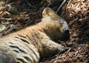 quokka animal