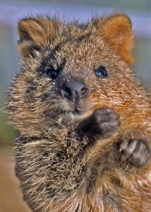 quokka no dissection